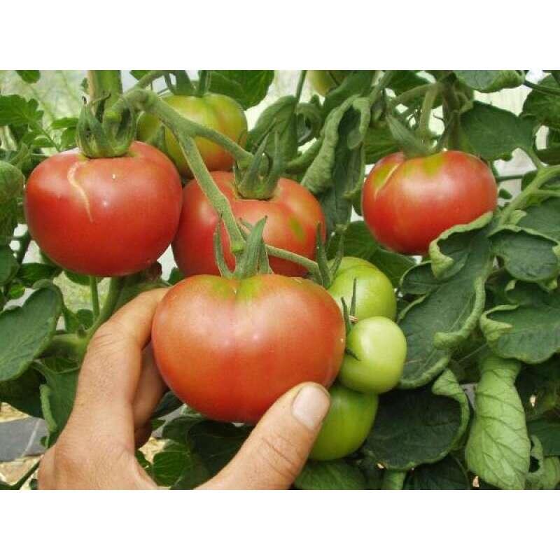 samen saatgut tomate 39 berner rosen 39 6 21. Black Bedroom Furniture Sets. Home Design Ideas