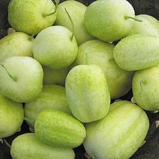 Gurke Crystal Apple- Cucumis sativus - Samen