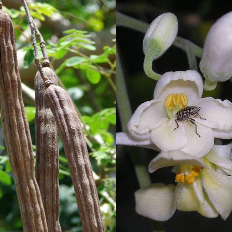 Parfumbaum // Ylang Ylang Cananga odorata 10 Samen SAFLAX