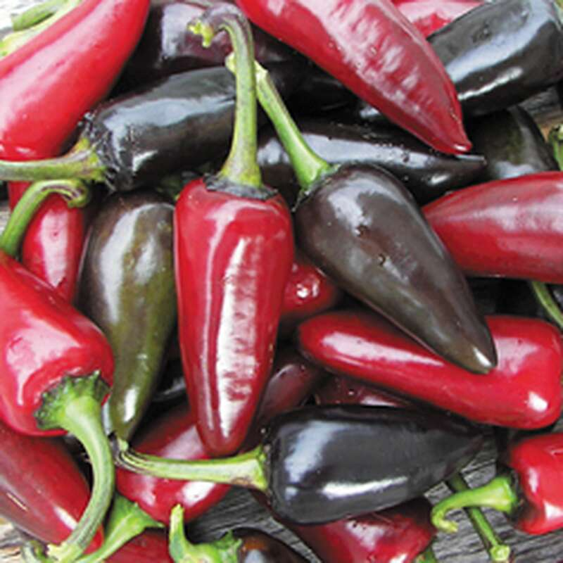 Chili Black Hungarian - Capsicum annuum - Samen