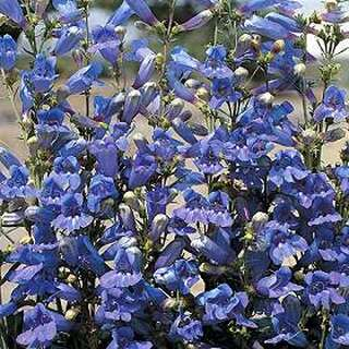 Bartfaden True Blue - Penstemon - Samen