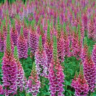 Fingerhut Candy Mountain - Digitalis - Samen