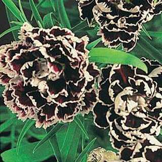Nelke Black And White Minstrel - Dianthus - Samen