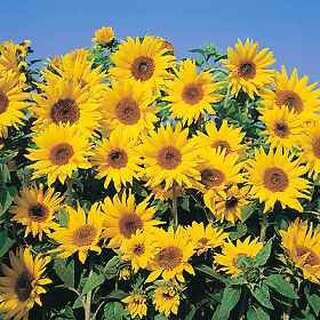 Sonnenblume Dwarf Yellow Spray - Helianthus annuus - Samen