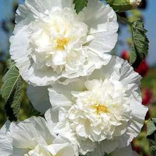 Stockrose Chaters Double Icicle - Alcea rosea - Samen