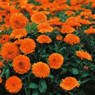 Ringelblume Candyman Orange - Calendula officinalis - Samen