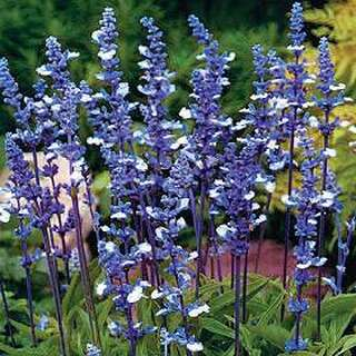 Salbei Fairy Queen - Salvia farinacea - Samen