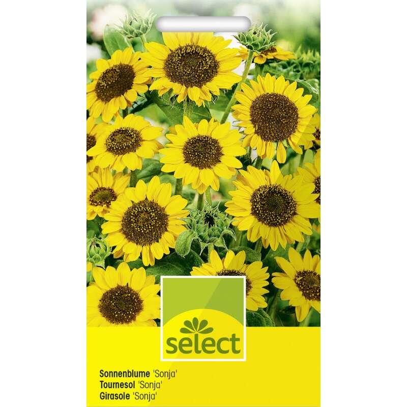 Samen Saatgut Sonnenblume Sonja 3 56