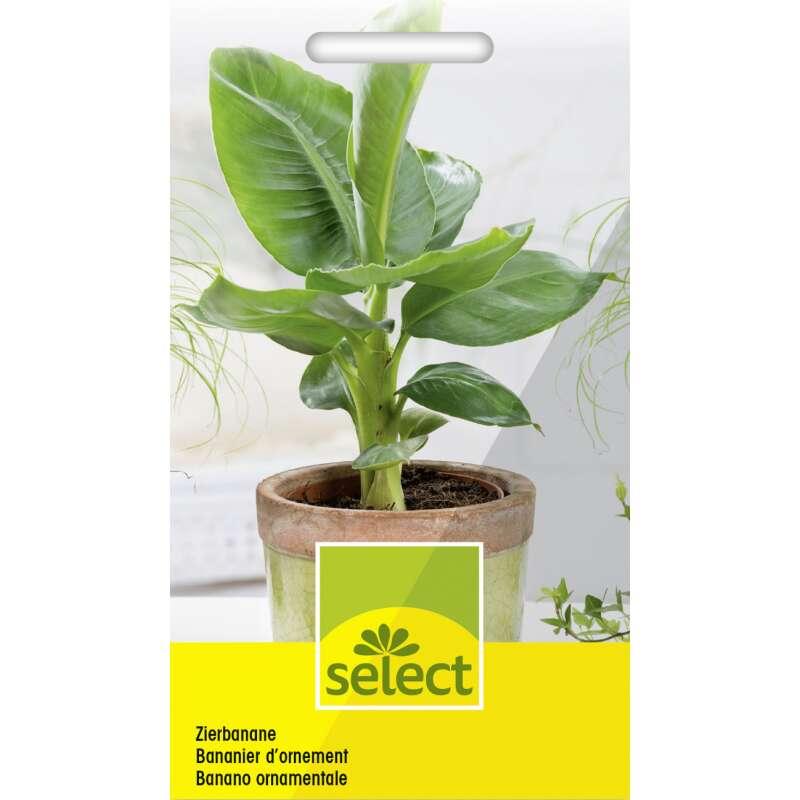 Samen saatgut zierbanane 4 48 - Hanf zimmerpflanze ...