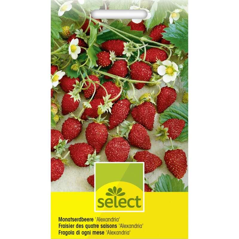 Etwas Neues genug Monatserdbeere 'Alexandria' Samen online kaufen | Saemereien.ch @MZ_11