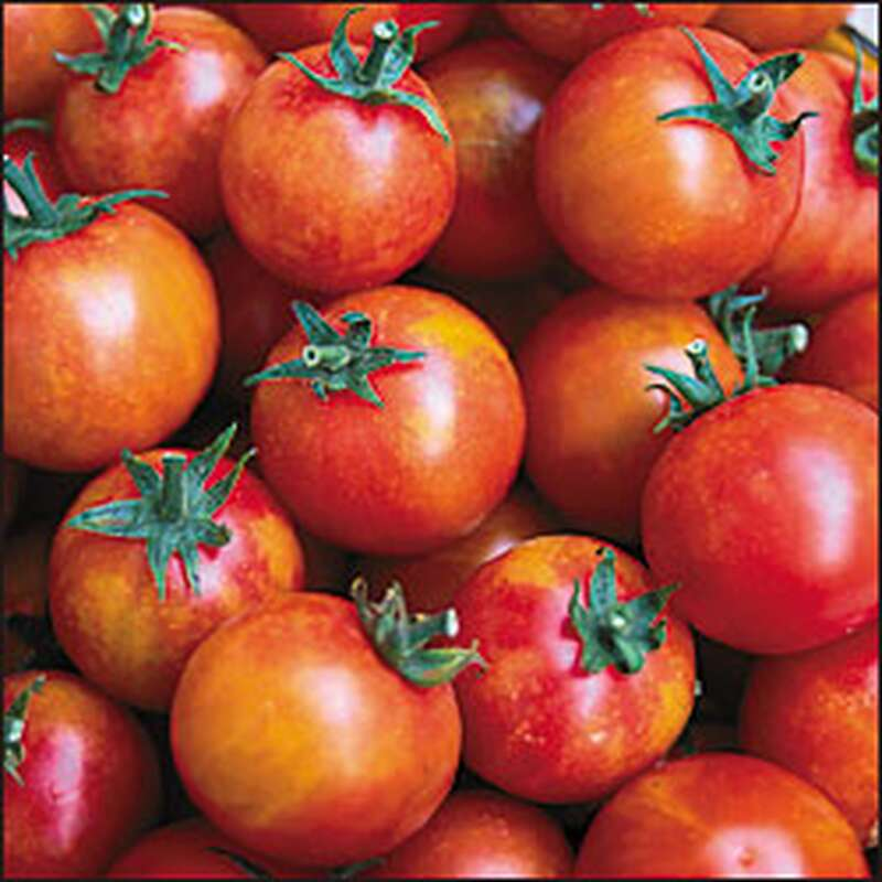 Tomate Isis Candy Cherry - Lycopersicon esculentum - Tomatensamen