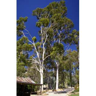 Eukalyptus, Zitroneneukalyptus   Eucalyptus Citriodora  .