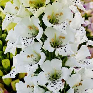 Fingerhut Snowy Mountain - Digitalis purpurea - Samen