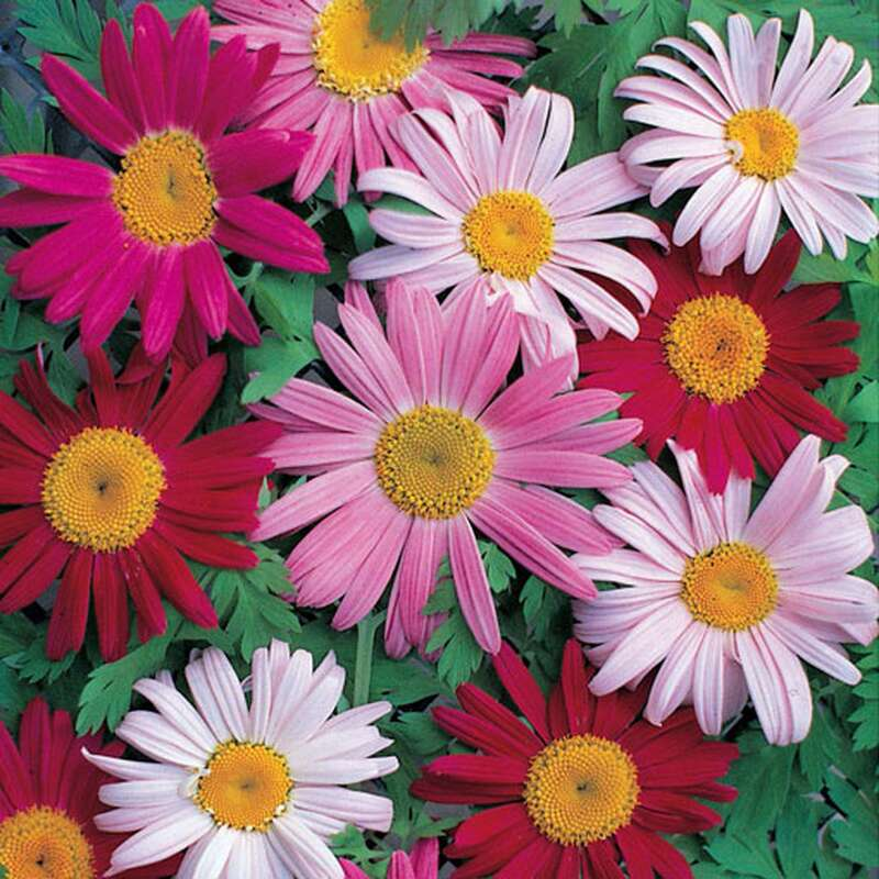 Margerite, farbige Pyrethrum T & M Single Mixed - Tanacetum coccineum - Samen