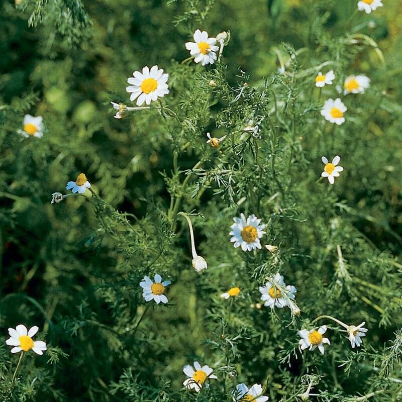 Berühmt Kamille 'römische' Bio Samen kaufen - Chamaemelum nobile #NW_98