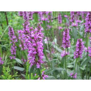 Heilziest, Betonie, Pfaffenblume - Stachys officinalis...