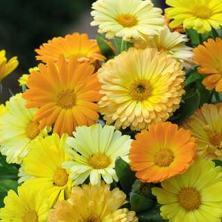 Ringelblume Fruit Twist - Calendula officinalis nana - Samen