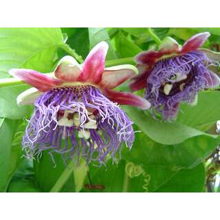 Maracuja, Riesengrenadilla - Passiflora quadrangularis -...