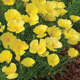 Kalifornischer Mohn Butter Bush - Eschscholzia...