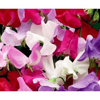 Wicke, Gartenwicke Early Mammoth Mischung - Lathyrus...