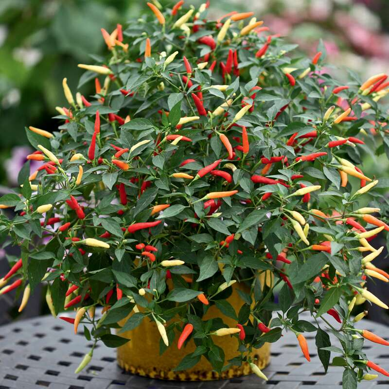 Topf Chili Basket of Fire F1 - Capsicum annuum - Samen