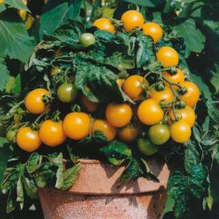 Topf Tomate Balconi Yellow - Lycopersicon esculentum -...