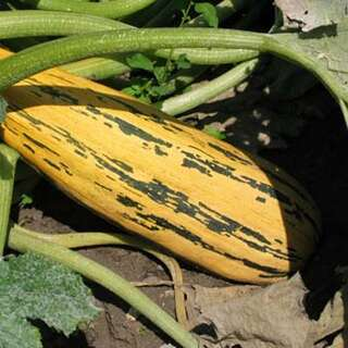 Cucurbita pepo Zucchini gr/ün
