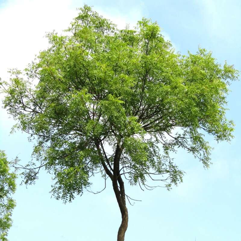Ganz und zu Extrem Neembaum, Niem-Baum Samen kaufen - Azadirachta indica | Saemereien.ch #MP_18