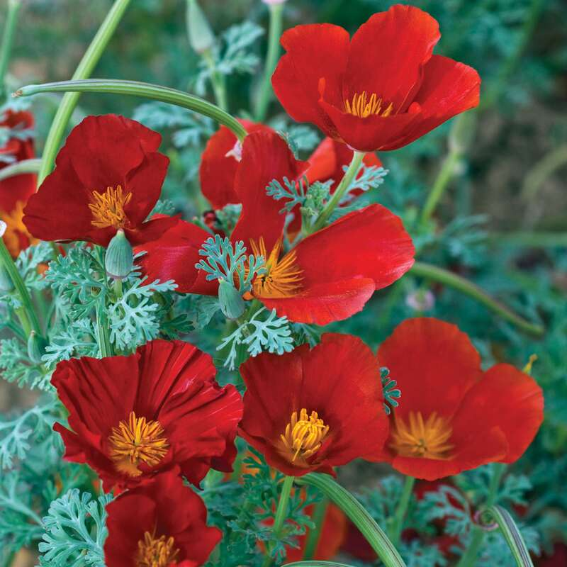 Kalifornischer Mohn Red Chief - Eschscholzia californica - Samen