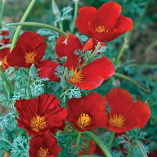 Kalifornischer Mohn Red Chief - Eschscholzia californica...