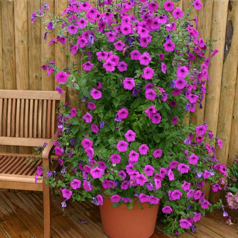 Petunie Purple Tower F1 - Petunia hybrida - Samen