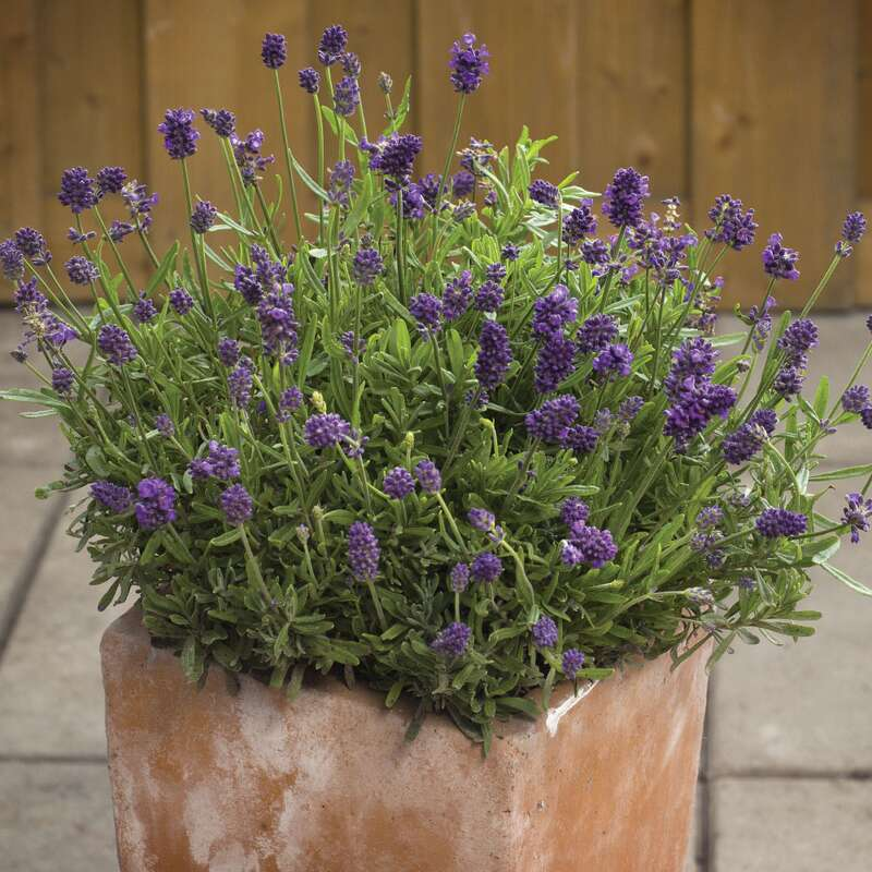 samen saatgut duft lavendel 39 mini blue 39 lavandula angustifolia. Black Bedroom Furniture Sets. Home Design Ideas