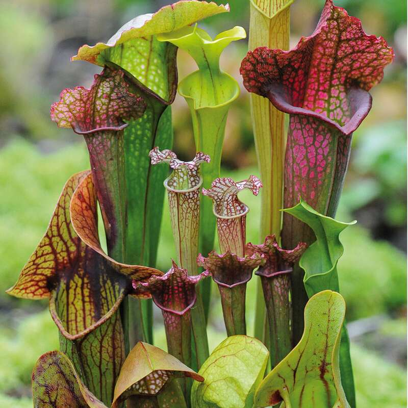 samen saatgut sarracenia 39 neue hybriden mischung 39 pitcher plant. Black Bedroom Furniture Sets. Home Design Ideas
