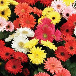 Gerbera jamesonii T&M Mixed F2 Hybrid - Samen