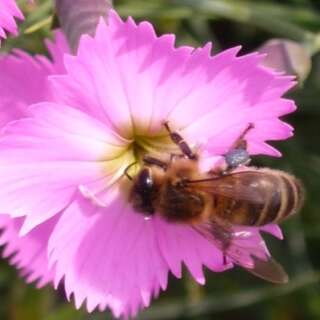 Wildbienen Samenmischung Mager - Diverse species -...