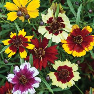 Mädchenauge Incredible Dwarf Mischung - Coreopsis x...