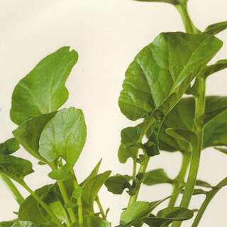 Ruccola, Doppelsame - Diplotaxis erucoides - Demeter...