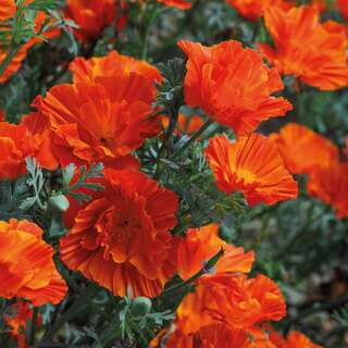 Kalifornischer Mohn Copper Swirl - Eschscholzia...