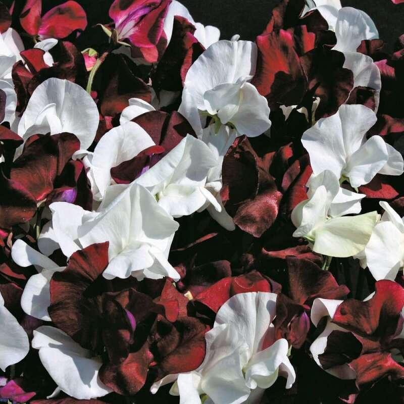 Edelwicke /'Night /& Day/' Samen 03010 Lathyrus odoratus Wicken Landhausgarten