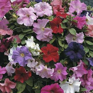 Petunie Super Cascade Improved F1 - Petunia grandiflora