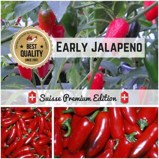 Chili Early Jalapeno - Capsicum annuum - Samen