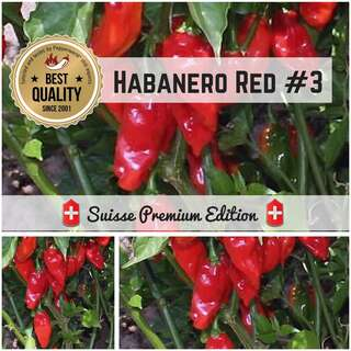 Chili Habanero Red #3 - Capsicum chinense - Samen