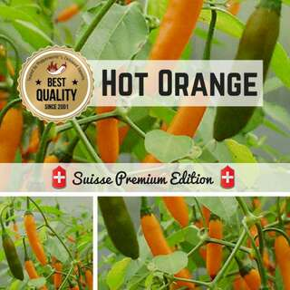 Chili Hot Orange - Capsicum baccatum - Samen