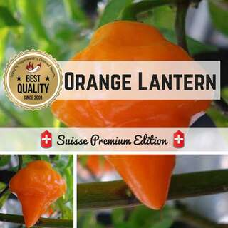 Chili Orange Lantern - Capsicum chinense - Samen