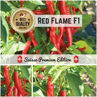 Chili Red Flame F1 - Capsicum annuum - Samen