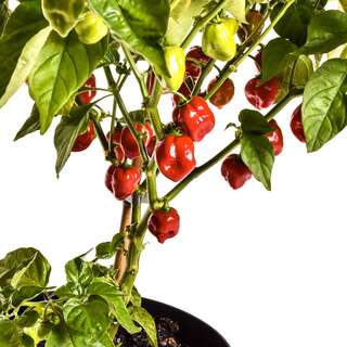 Chili Red Savina - Capsicum chinense - Samen