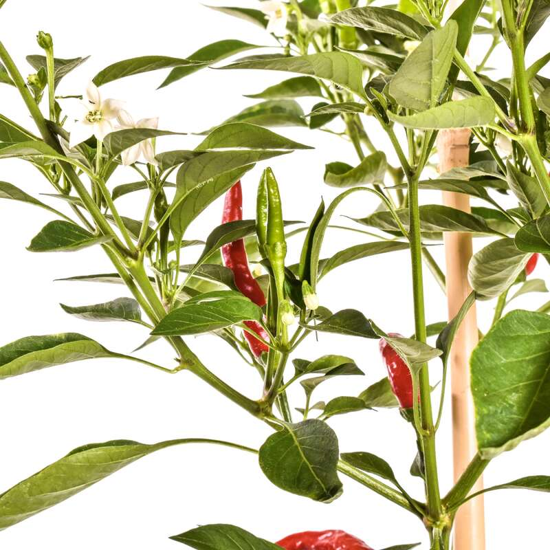 Chili Thai Dragon - Capsicum annuum - Samen
